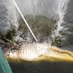 Caught_gator_in_water_by_boat_daytime